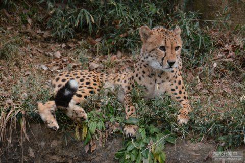多摩動物公園 チーター