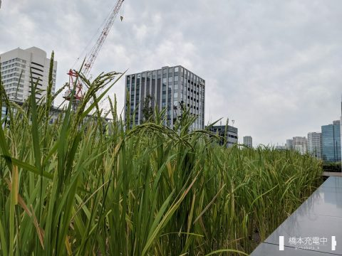 東京ポートシティ竹芝 水田の景